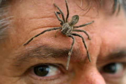 Домашние пауки не в состоянии прокусить кожу взрослого человека