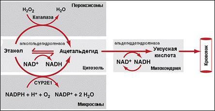 Сложный метаболизм этанола в организме