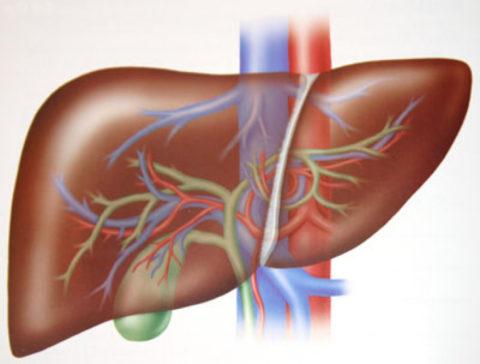На фото печень – орган, воспаление которого называется «гепатит»