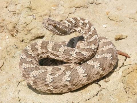 Обыкновенный щитомордник – змея, обитающая на Дальнем Востоке, близкий вид к гремучим змеям