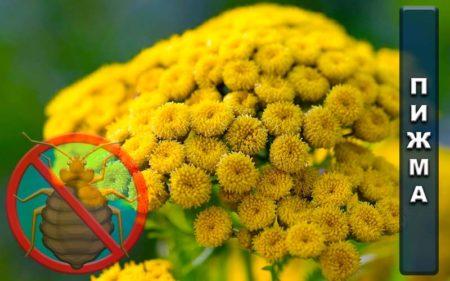 Как правильно использовать пижму от клопов: свойства растения и способы их реализации
