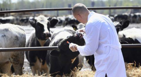 Инфицированное животное может быть безответственно послано на забой.