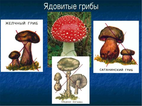 Ядовитые грибы – частая причина тяжелых отравлений