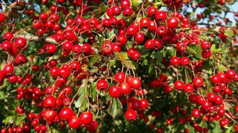 Чай из ягод боярышника выведет токсины и укрепит иммунитет.