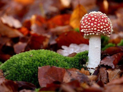 Вполне симпатичный на вид, этот гриб весьма ядовит