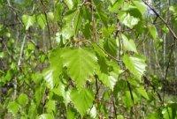 Представленные на фото березовые листья – простое и доступное каждому средство для очищения суставов и выведения солей