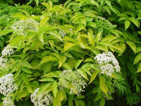 Когда отойдет цвет, на месте белых гроздей появятся черные мелкие ягоды