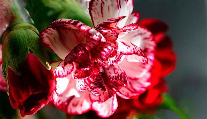 цветок гвоздики от флюса