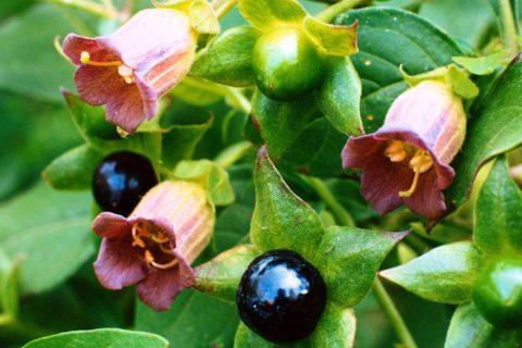 Ядовитые растения часто встречаются в природе