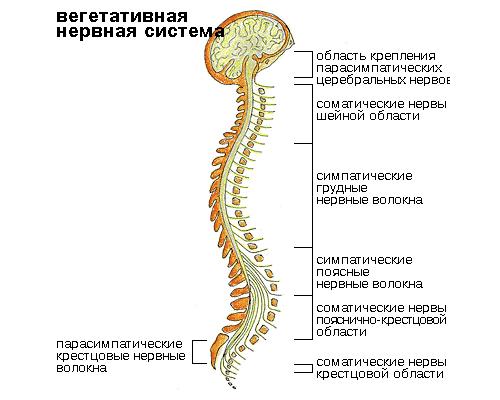 Структура вегетативной нервной системы