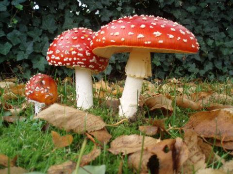 Ярко-красные шляпки мухомора знакомы всем с детства