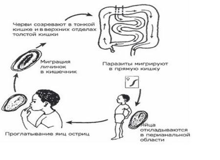 Что необходимо знать об острицах у взрослых, симптомах энтеробиоза и способах избавления от этих паразитов?