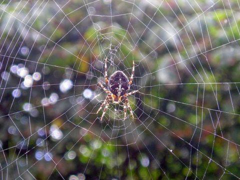 Узор паутины паука-крестовика