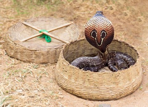 В Индии кобр используют в представлениях, заставляя их следить за дудкой, что создает иллюзию змеиного танца
