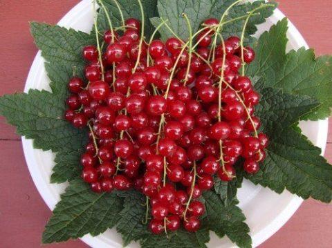Побороть токсикоз помогут кислые ягоды и фрукты, например, красная смородина