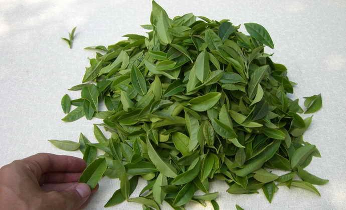 прикладывание чайных листьев от стоматита