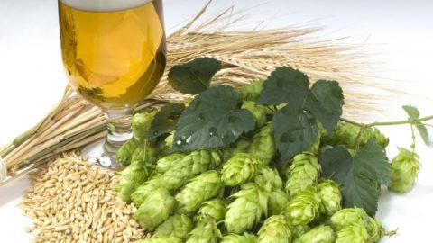 Качественное пиво изготовлено только из натуральных компонентов, не вызывающих отравление.