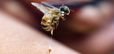 Медоносная пчела оставляет жало после укуса