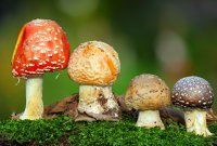Отравление грибами происходит из-за сбора ядовитых видов или неправильного хранения и приготовления съедобных грибов