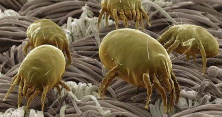 Разновидности домашних клещей, места их локализации и способы уничтожения паразитов