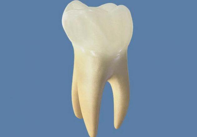 картинки зубов человека с корнями отличительной особенностью
