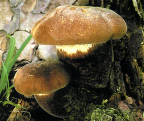 На фото свинушка толстая, растущая на выступающих корнях дерева.