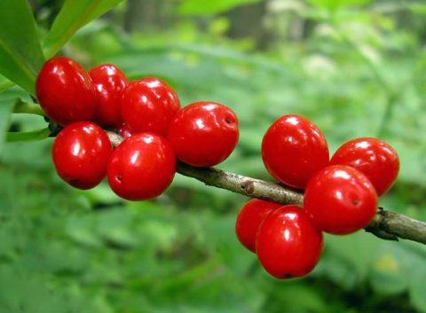 Всего одна ягодка может послужить причиной диареи и длительного подташнивания