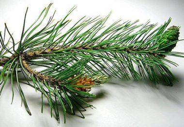 Веточка хвойного дерева