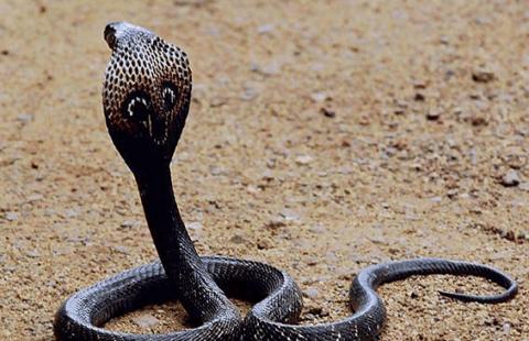 Индийская (очковая змея)