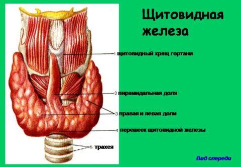 Патологии щитовидной железы являются следствием негативного воздействия многих факторов, в том числе, нестабильного психоэмоционального фона.