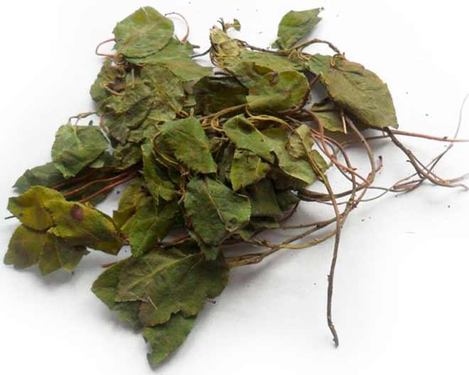 гинекологи назначают пить боровую матку как чай курсами с перерывами в одну или две недели