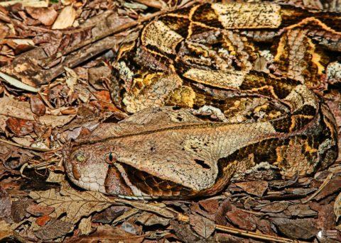 Габонская гадюка или кассава незаметна, но смертельно ядовита