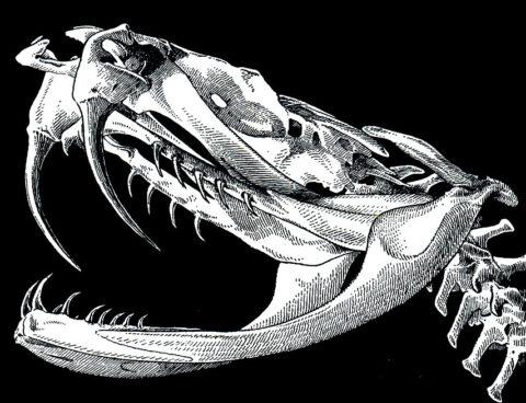 Строение челюсти и с двумя ядовитыми клюками типичного представителя семейства гадюковых
