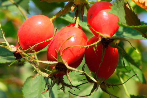 Плоды шиповника, представленные на фото, обладают общеукрепляющим действием