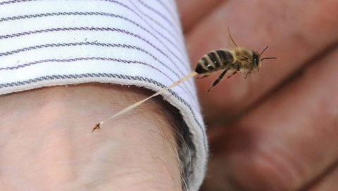Остающееся жало в теле – характерная особенность укуса пчелы