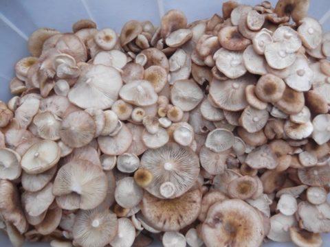 После сбора или покупки опят следует убедиться в отсутствии среди общей массы ядовитых грибов.