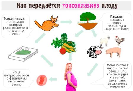 Правила проведения анализа на токсоплазмоз, особенности инфекции, ее формы