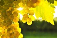 Ягоды винограда очень полезны при заболеваниях органов дыхания