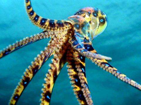 Ядовитый осьминог