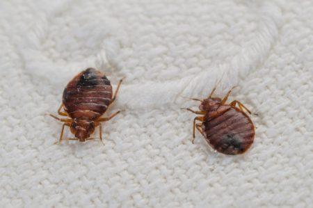 Виды постельных паразитов: характеристики и способы борьбы