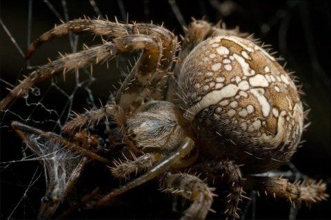 Самка паука-крестовика