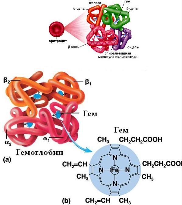 Окись углерода связывается с гемоглобином (на фото) в 300 раз быстрее, чем кислород