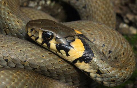 Уж обыкновенный – неядовитый вид змей