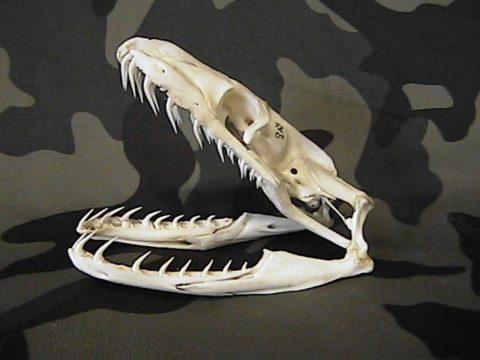 Зубы на челюсти питона